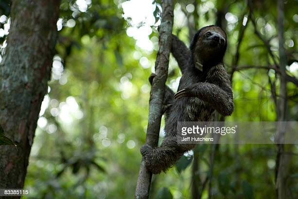 A sloth takes to the trees of a small patch of Brazilian rainforest February 16 2007 outside of Manaus Brazil