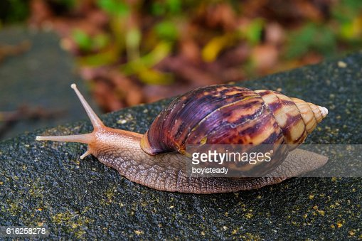 Slow Life of Snail : Stock Photo