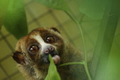 A slow loris in its cage at a sanctuary for the endangered animals which have been confiscated from individuals or markets which illegally sell them...