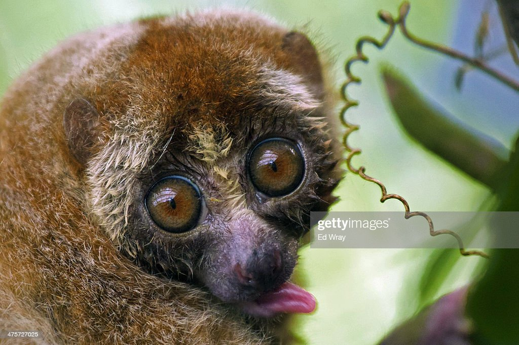 A slow loris licks its fur at a sanctuary for the endangered animals which have been confiscated from individuals or markets which illegally sell...