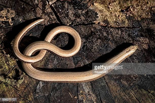 Slow worm, Anguis fragilis, on wood