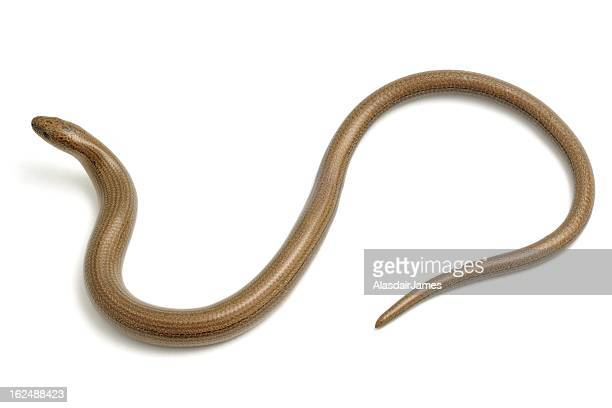 Slow Worm from above