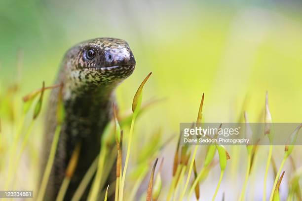 Slow worm in moss