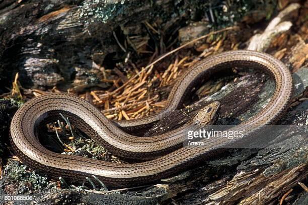 Slow worm / slowworm / slowworm limbless reptile native to Eurasia basking on the forest floor