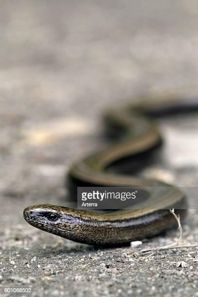 Slow worm / slowworm / slowworm limbless reptile native to Eurasia crawling over the ground
