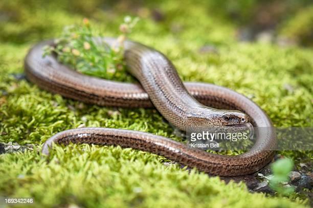 Slow-worm (Anguis fragilis)