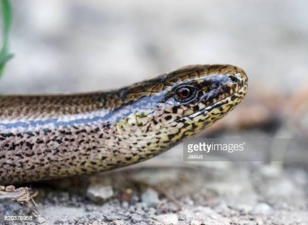 Slowworm reptile