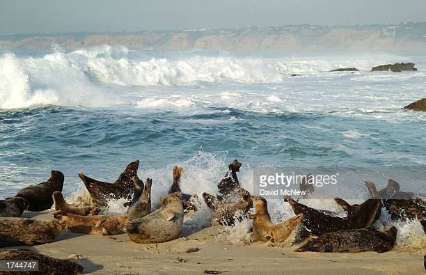 Slumbering harbor seals rise up as a wave hits them at Children's Pool Beach January 24 2003 in La Jolla California Seals have taken over the beach...