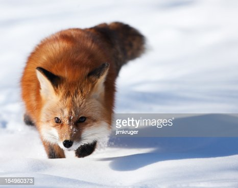 Sly red fox in mid-winter snow.