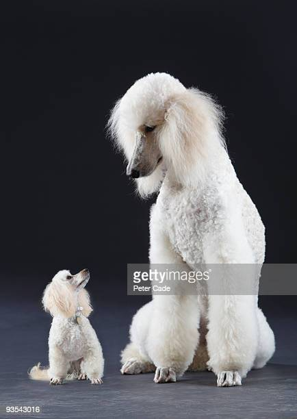 Small and large poodle