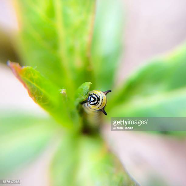 Small baby monarch caterpillar