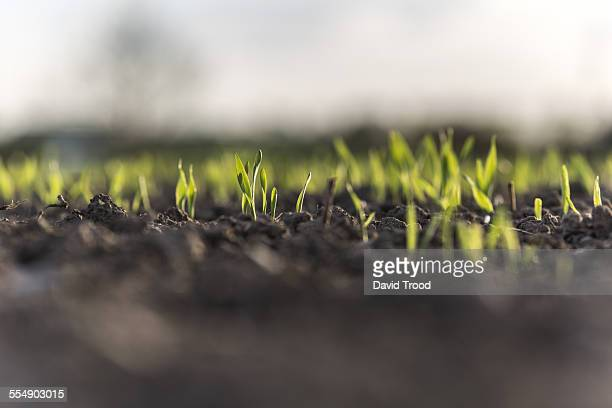Small barley sprouts coming up from the earth