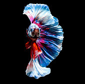 closeup small beautiful siam betta fish on black background