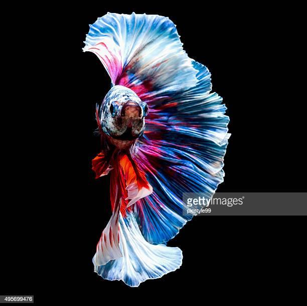 closeup small beautiful siam betta fish on black background