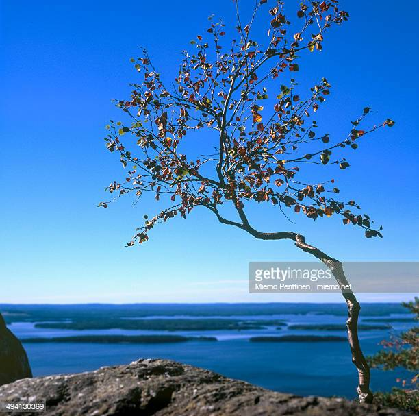 Small birch on top of hills of Koli National Park
