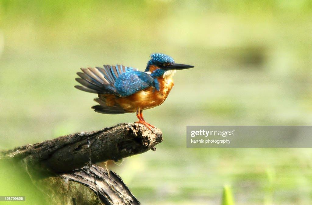 Small Blue Kingfisher : Stock Photo