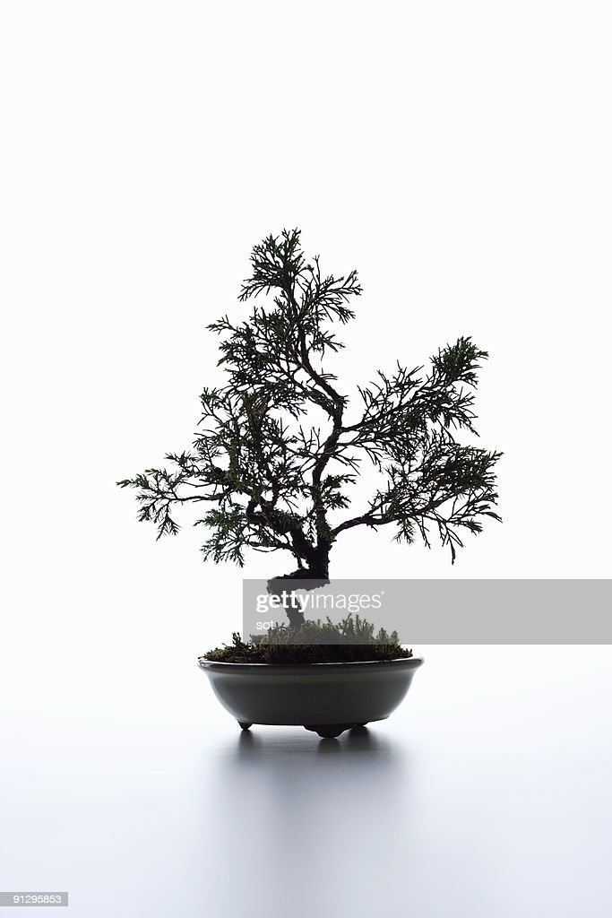 A small bonsai on the desk. : Stock Photo