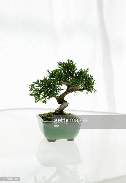 A small Bonsai on the table