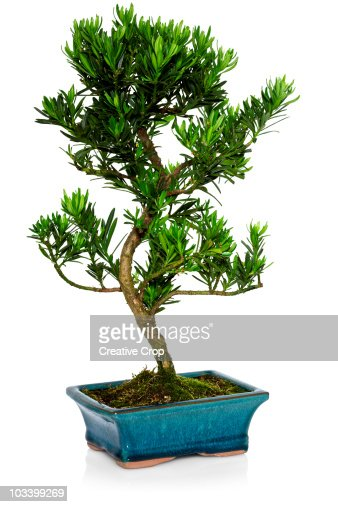 Small bonsai tree in pot