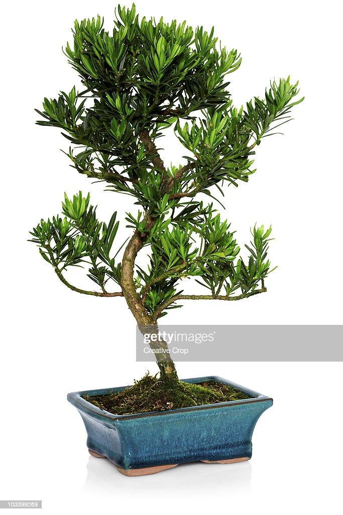Green Island Ficus Bonsai Tree, Chinese Banyan, Specimen Bonsai ...