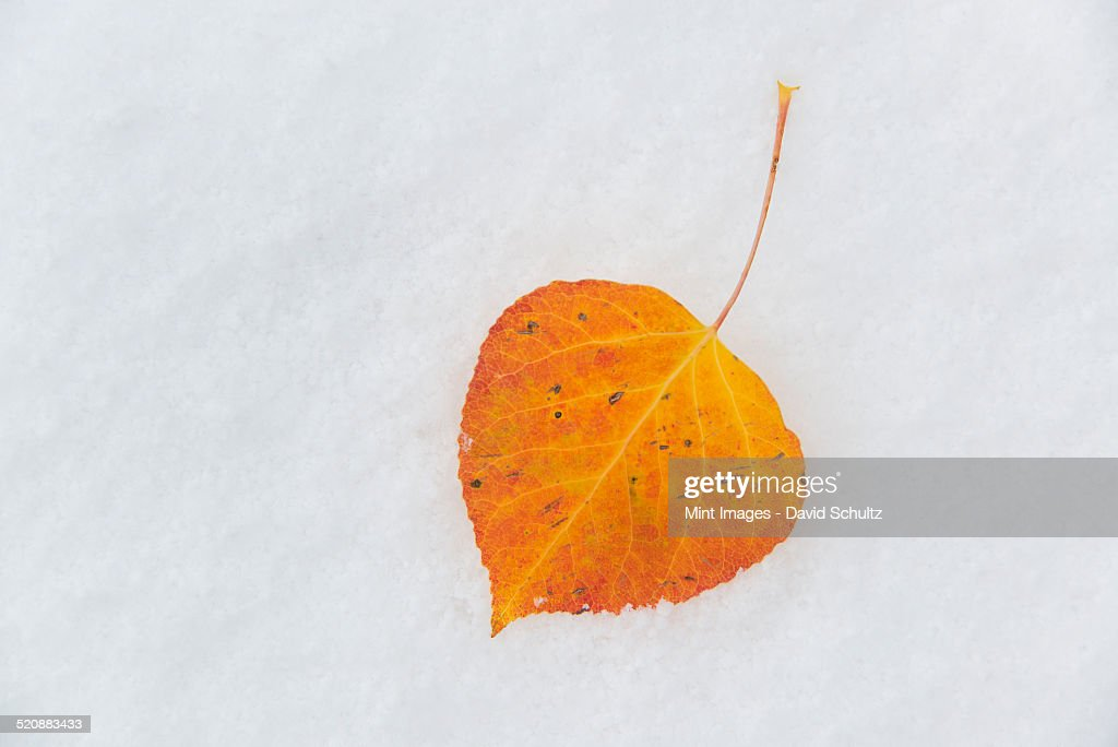 A small brown aspen leaf lying on the snow.