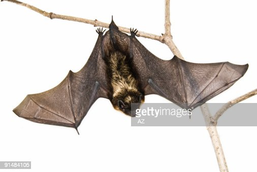 A small brown bat hanging upside down on a branch