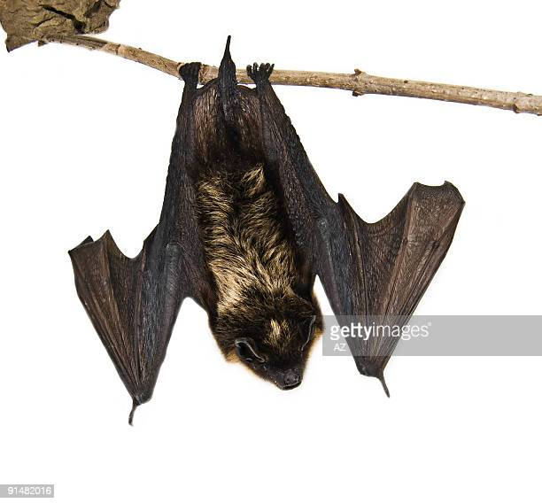 small brown bat sitting on branch (isolated)
