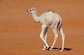 A small camel calf walking on a desert sand dune, Arabian Peninsula