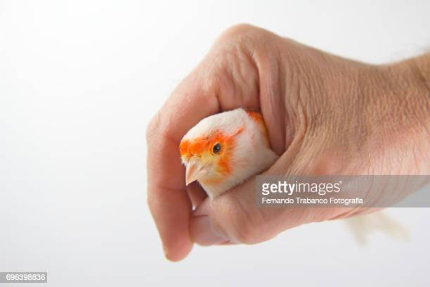 Small canary bird trapped in a human hand