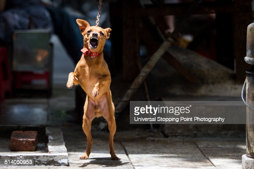 Small Chained Dog Aggressively Barking