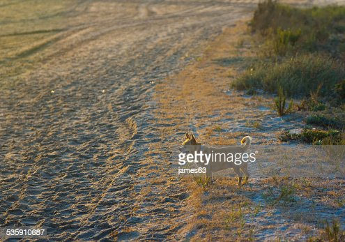 small chihuahua walking on the beach : Stock Photo
