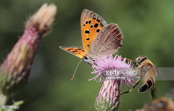 Small Copper & friends