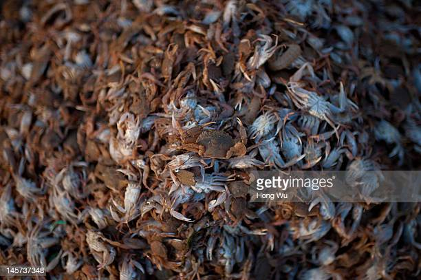 Small crabs are gathered waiting to process to fish feedstuffs at a port on May 21 2012 in Qingdao China Marine fishery resources in China becomes...