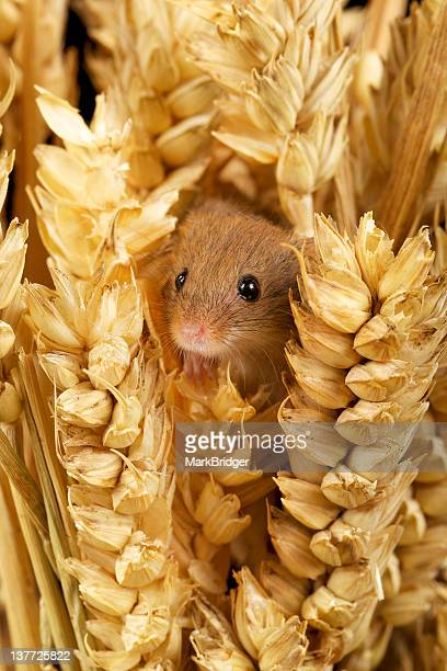 Small cute harvest mouse creeping out of wheat