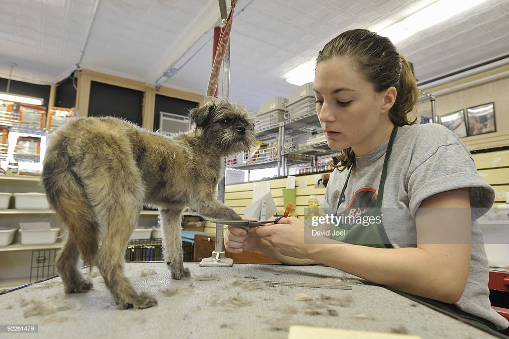 Small dog being groomed in dog grooming salon : Stock Photo