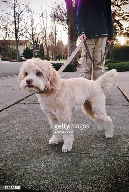 Small dog being walked on leash down neighborhood sidewalk