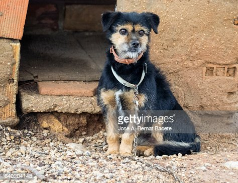 Small dog guardian tied with a chain opposite to his shed in the field, race Yorkshire Terrier
