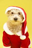 Small Dog In Santa Costume