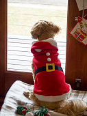 Small Dog in Santa Suit Looking Out Window