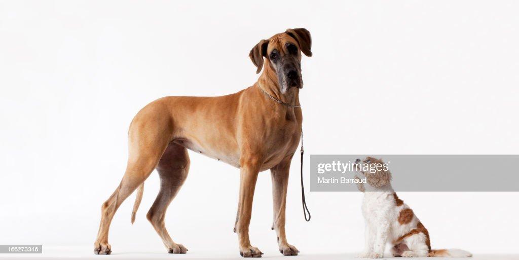 Small dog looking at bigger dog : Stock Photo