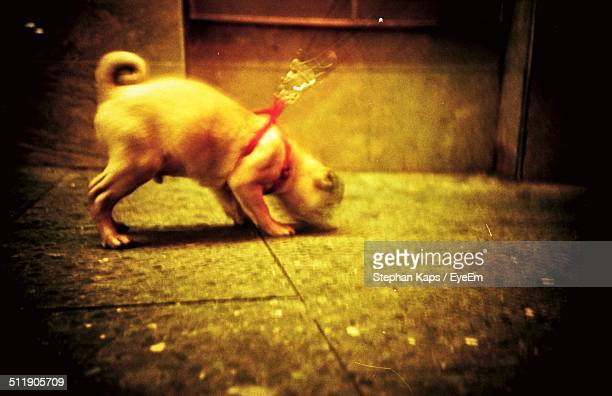 Small dog on leash sniffing at ground