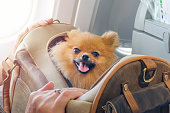 small dog pomaranian spitz in a travel bag on board of plane