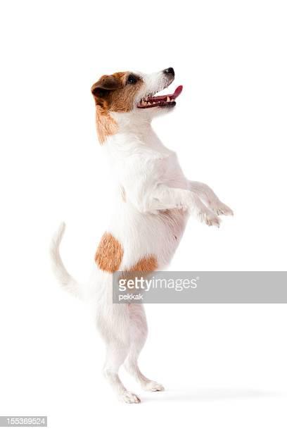 Petit chien debout sur deux pieds, avec un arrière-plan blanc
