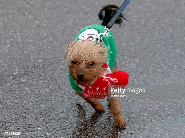 A small dog wearing a Christmas jumper is blown around on December 23 2013 in Sidmouth England The Met Office has issued a number of severe weather...