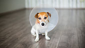 Nice dog Jack Russell terrier sitting with vet Elizabethan collar on the gray floor