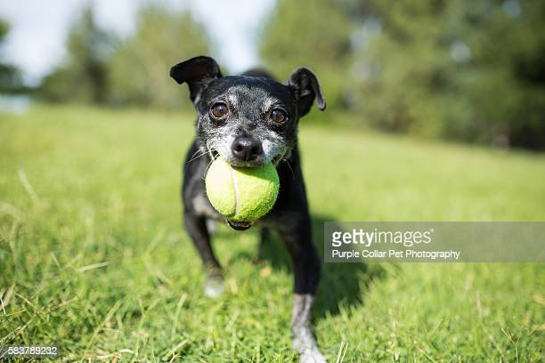 Small Dog with Tennis Ball on Sunny Day