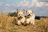 zwei kleine hunde laufen im stoppelfeld um die wette