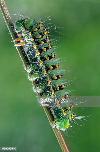 Small Emperor Moth caterpillar France