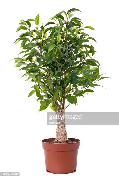 A small ficus tree planted in a brown clay pot