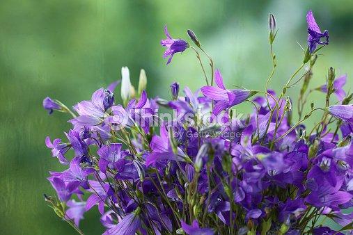 Small Field Of Purple Flowers Bells Bouquet Stock Photo
